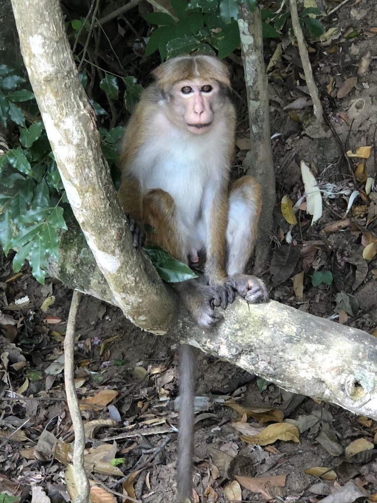 Macaco-Udawattakele