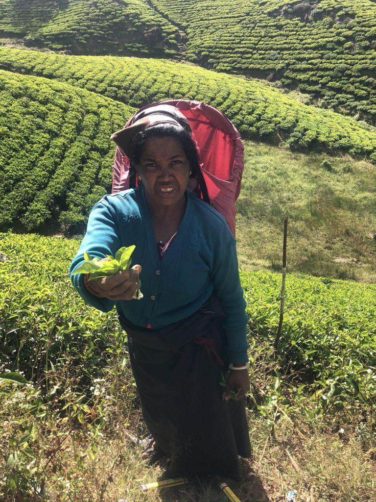 Mujer-recolectora-té