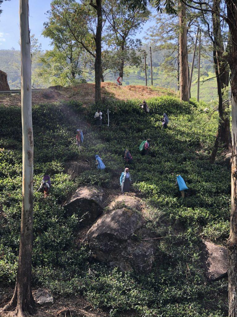 Mujeres-recolectoras-té