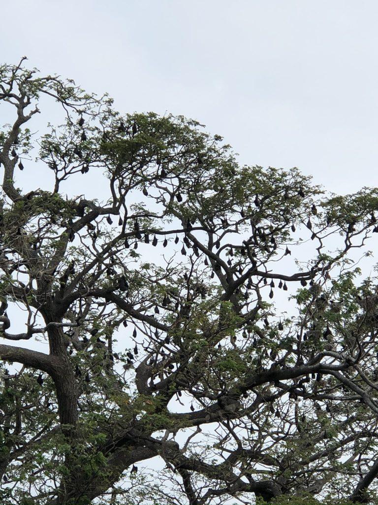 Murciélagos-en-Tissa
