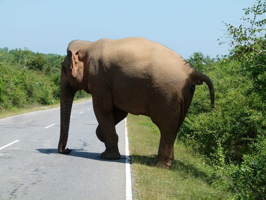 Elefante-cruzando-la-carretera