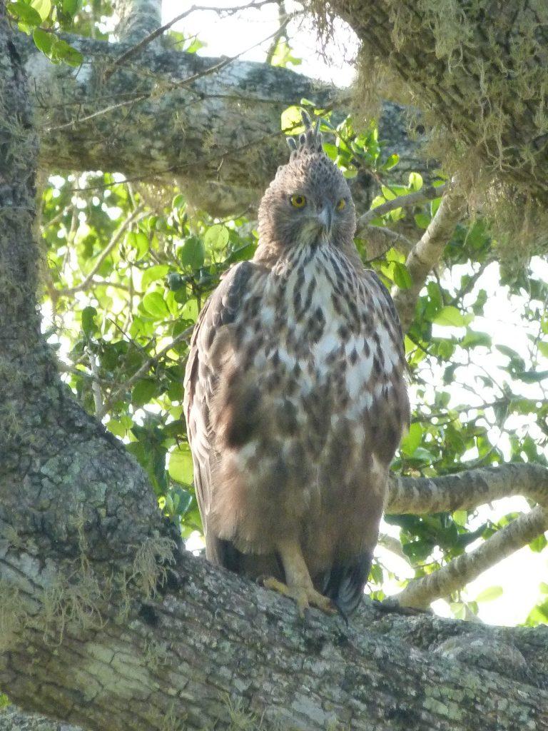 Águila Safari en Yala