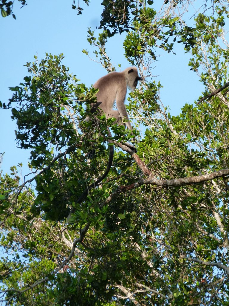Macaco Safari en Yala