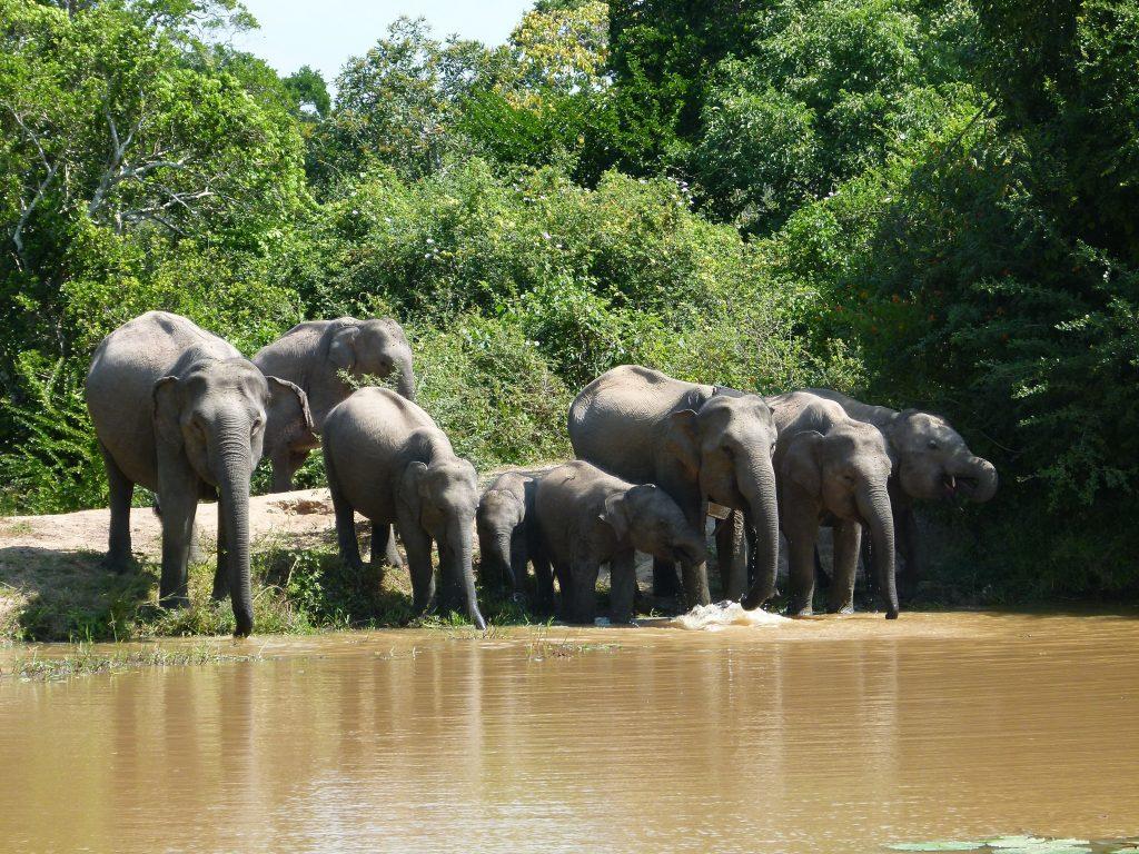 Manada-elefantes-Yala