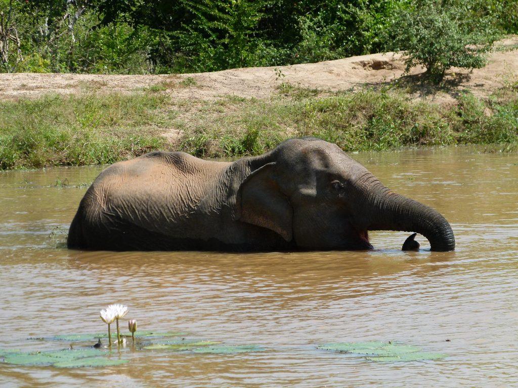 Elefante-Yala