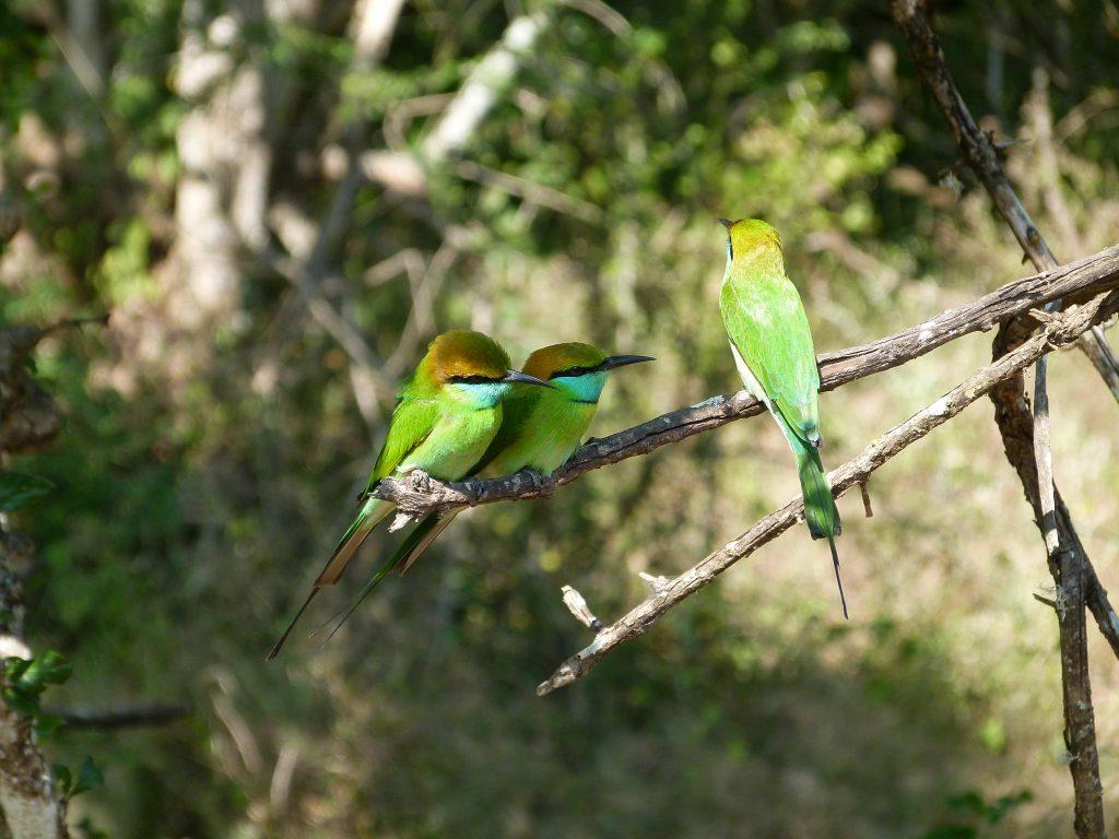 Pájaros Safari en Yala