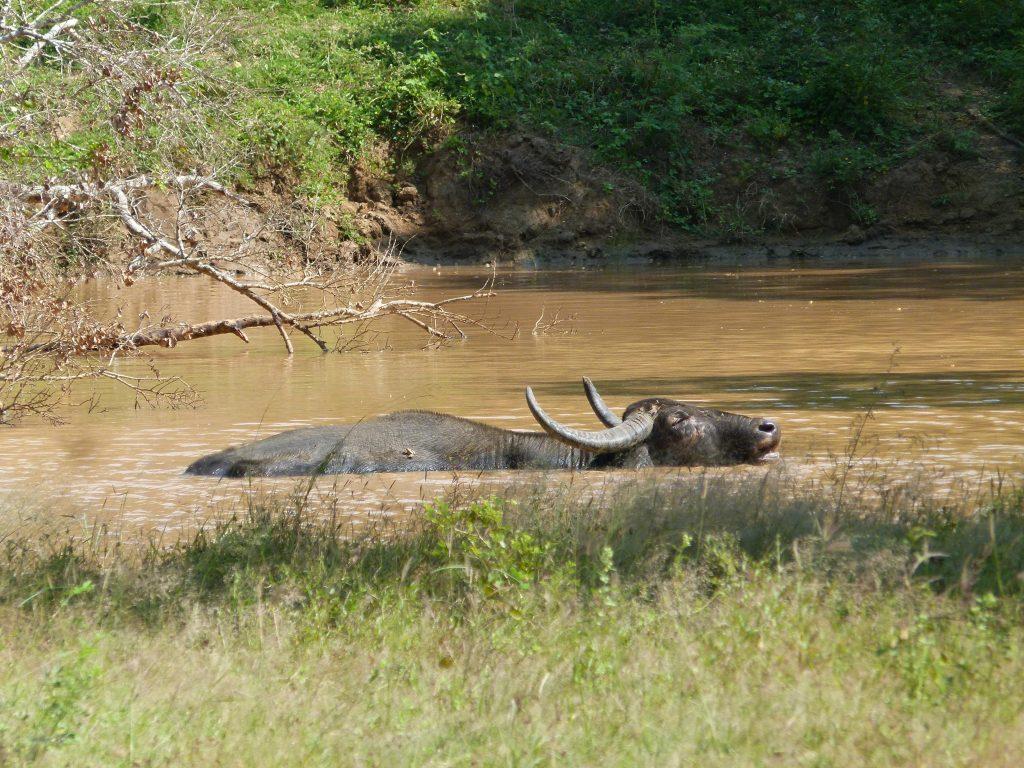 Búfalo Safari en Yala