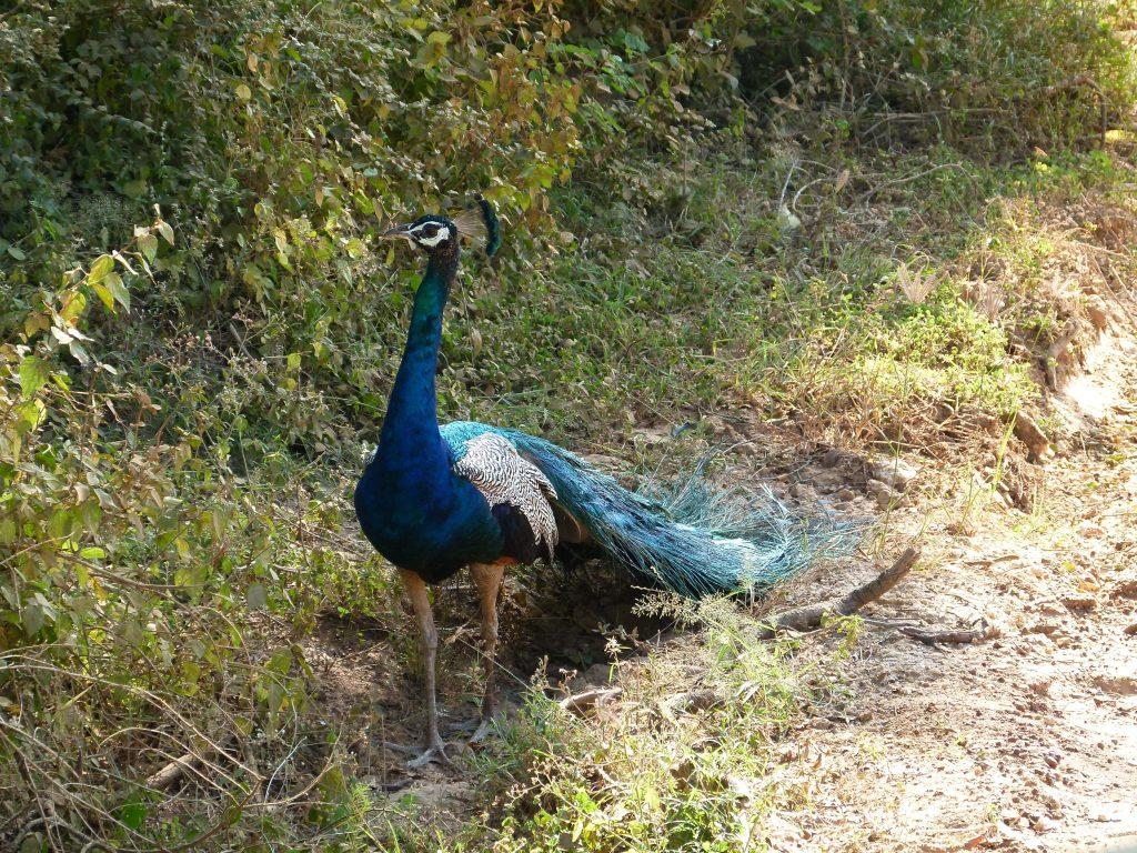Pavo real Safari en Yala