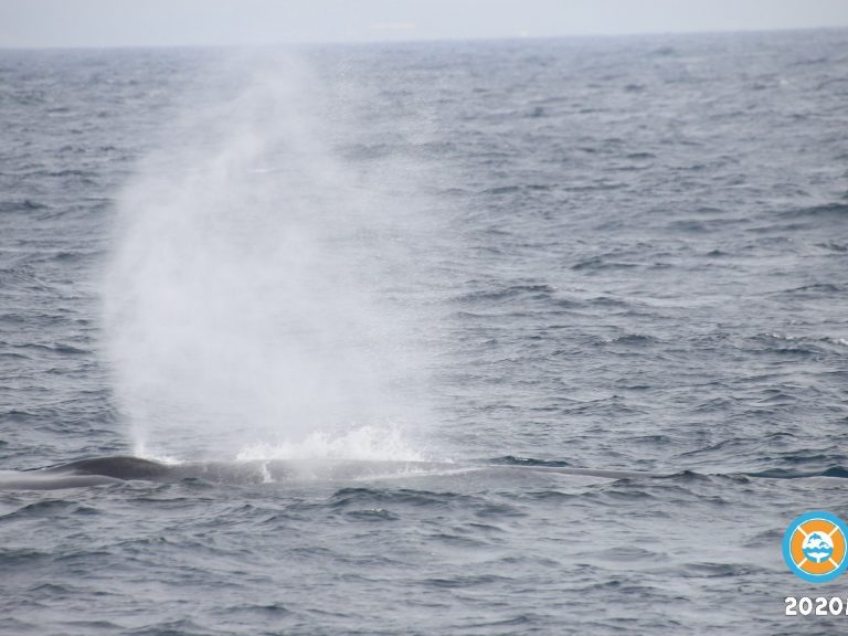 Ballena azul Raja & The Whales